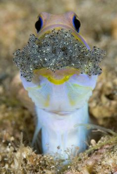 Cute Yelloheaded Jawfish