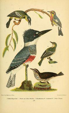 Kingfisher, Scientific Illustration
