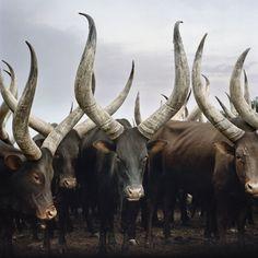 Group of Ankole cattle. Kiruhura district, Western Region, Uganda. Daniel Naudé