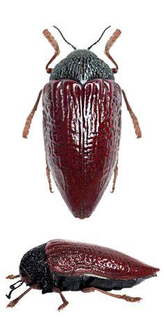 Sternocera hildebrandti.jpg