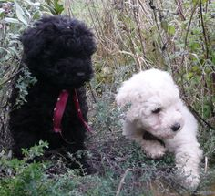 week old puli puppies. Can't wait to get ours!!!