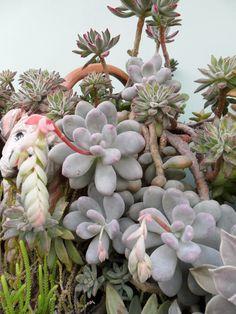 Phachyphytum oviferum.