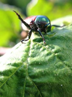 Have an iphone? There's something to consider purchasing for capturing fun photos. Japanese Beetle : Photography fun with the olloclip.