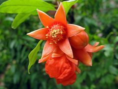 Pomegranate flower by maywaskind, via Flickr