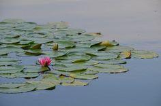 Lac du  Bourget et fleur de nénuphar