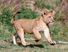 Toutes les tailles   Lion Cub_F9P2834   Flickr: partage de photos!