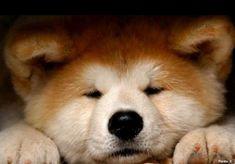 Japanese Akita, Japanese Dogs, Cute Baby Animals, Animals And Pets, Puppies And Kitties, Doggies, Japon Tokyo, American Akita, Akita Dog