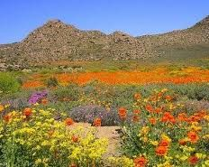 gorgeous South Africa - Namakwaland flowers after the rain Places To Travel, Places To Visit, Places Of Interest, What A Wonderful World, Fantastic Art, Africa Travel, Natural Wonders, Wonders Of The World, Wild Flowers