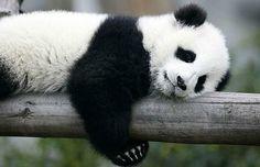 Photo about The Chinese Giant Panda Bear Cub. Image of wildlife, panda, animals - 3614210 Niedlicher Panda, Panda Bebe, Cute Panda, Red Panda, Cute Baby Animals, Animals And Pets, Bizarre Animals, Wild Animals, Photo Panda