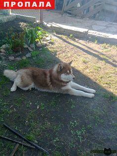 Пропала собака кобель сибирский хаски г.Нижний Новгород http://poiskzoo.ru/board/read29237.html  POISKZOO.RU/29237 Пропал кобель, сибирский хаски, окрас коричнево-рыжий, в районе поселка Ворошиловский, Автозаводского района  РЕПОСТ! @POISKZOO2 #POISKZOO.RU #Пропала #собака #Пропала_собака #ПропалаСобака #Нижний #Новгород