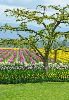 Colorful Tulip Farm British Columbia Canada