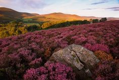 A field of heather. Scotland. <<< I'm thinking of that picnic lunch, bottle of wine, good book scenario here....  ♡  I could stay here forever.