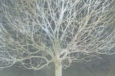 Silver Trees - Wall Mural