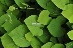 KOKORNAK WIELKOLISTNY (Aristolochia macrophylla)