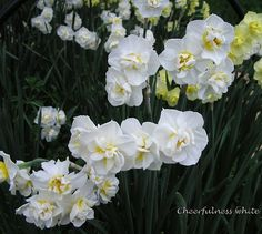 Cheerfullness White Daffodils - 3 to 4 silver dollar size double creamy white blooms per stem.  Very fragrant. Late season daffodil, early to mid April.  Bare Mtn Farm.