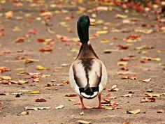 ❕ Check out this free photoAnimal animal world aquatic animal autumn    ▶ https://avopix.com/photo/52987-animal-animal-world-aquatic-animal-autumn    #drake #duck #waterfowl #aquatic bird #bird #avopix #free #photos #public #domain
