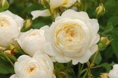 Îngropați un ou în grădină și asigurați-vă culturile cu un îngrășământ extraordinar! - Sfaturi pentru casă și grădină Rose, Flowers, Plant, Pink, Roses, Royal Icing Flowers, Flower, Florals, Bloemen