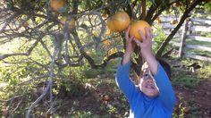 A laranja é cultivada na propriedade de Rosemar do Prado, no interior de Seberi (RS), somente para o consumo. Ela pode ser descascada e comida ao natural, ou espremida para obter o suco. A casca exterior também pode ser utilizada em diversos pratos culinários, como ornamento, ou mesmo para dar algum sabor, inclusive no chimarrão, presente na cultura gaúcha.