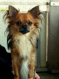 Chihuahua Fridolin Ein Bild von einem Hund!   #Hundename: Fridolin / Rasse: #Chihuahua      Mehr Fotos: https://magazin.dogs-2-love.com/foto/chihuahua-fridolin/ Foto, Hund