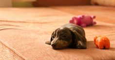 A Tiny Puppy Was Allowed On The Bed For The First Time! Look What He Did! via LittleThings.com