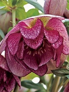 Helleborus Peppermint Ice - Hellebores are late winter-flowering perennials for the woodland shade garden. Hardy to Zone 5 to F) - Gardening Sustain