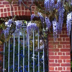 #Wisteria #bloom @bromley_by_bow Centre #eastLondon. Photo by @sparrow_tweets