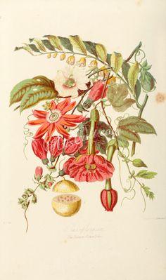 14-Passiflora edulis. Passiflora racemosa. Passiflora maliformis. Tacsonia mollissima. Smeathmannia laevigata. ...