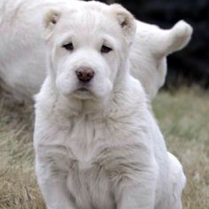 Central asian ovcharka puppy. So beautiful!  #centralasianovcharka