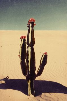 ARTFINDER: Cactus bloom by Nadia Attura - Cactus bloom, desert dunes, composite pop art inspired by early mid century advertising. Fine Art photographic print, professionally hand printed on fine . Cactus Photography, Photography For Sale, Color Photography, Desert Photography, Paper Cactus, Rise Art, Buy Cactus, The Other Art Fair, Contemporary Artwork