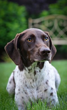 german shorthaired pointer - looks a lot like my Maverick. I have fallen in love with this breed