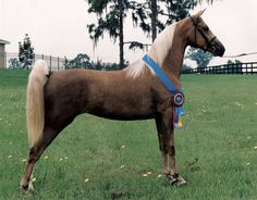 this horse is a morgan horse and its name is morgan