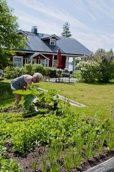Talon etupihan kasvimaalta Titta saa kaikki juurekset, sipulit, yrtit ja…