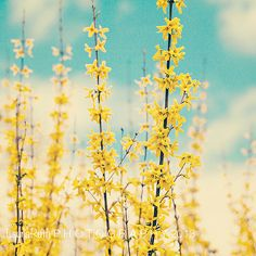 Forsythia Photograph, NaturePhotography, Blue Yellow, Mothers Day, Baby Nursery, Home Decor, Fine Art Photography 8x8 - AWAKENING via Etsy