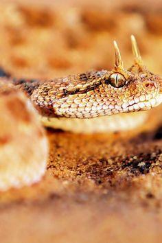 640-Desert-Horned-Viper-l
