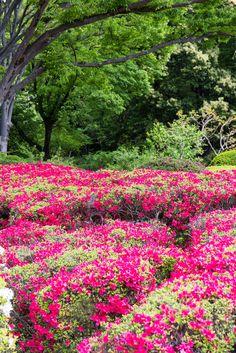 Azalea, at Jindai Botanical Gardens, Tokyo