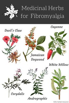 Information on the health benefits, active ingredients and side effects of medicinal herbs for fibromyalgia treatment and relief