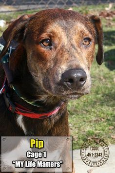 01 Pip is an adoptable Shepherd searching for a forever family near Canton, OH. Use Petfinder to find adoptable pets in your area.