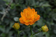 Kullero | Vesan viherpiperryskuvat – puutarha kukkii