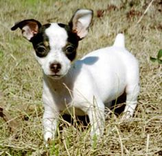 Miniature Rat Terriers - Dogs - by Abby Anthony Rat Terrier Puppies, Toy Fox Terriers, Terrier Mix, Cute Puppies, Cute Dogs, Dogs And Puppies, Doggies, Rat Dog, Dog Lady