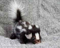 Baby skunks are cute.
