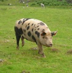 The rare Gloucester 'Old Spot' Pig is predominantly white w/ black spots.Named after county of Gloucestershire where it originated. Gloucestershire Old Spots Breed Society was formed in 1913 & called breed 'Old Spots' because the pig had been known for as long as anyone could remember.First pedigree records of pigs began in 1885. Known for its docility & intelligence, usually kept in cider & pear orchards & on dairy farms. Local folklore says the spots on its back are bruises from falling…