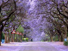 Jakaranda Strate Pretoria - Outoppies Local is Lekker