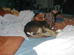 Lost 7/16/12 brown/tan small male DOG = (Upper Yucaipa) Lost my male Chihuahua mix on 7/16/12. He is chocolate brown color with tan markings..or return him to 35062 Avenue D.