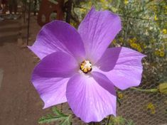 Exotic Flowers, Large Flowers, Blue Flowers, Hibiscus Garden, Blue Hibiscus, Front Yard Planters, Lilac, Purple, Mauve