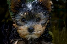Yorkshire Terrier Training - How To Train Your Yorkie If She Is Very Sensitive Dog Yorkshire Terriers, I Love Dogs, Cute Dogs, Awesome Dogs, Top Dog Breeds, Dog Breeds That Dont Shed, Lap Dogs, Mundo Animal, Scottish Terrier