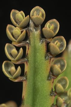 Baby plants on leaf margins of Kalanchoe daigremontiana - Flickr - Photo Sharing!