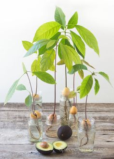 2 easy ways to grow avocado tree from seed in soil or water, better than toothpicks method! Best tips on germination, indoor Avocado Plant From Seed, Avocado Seed, Indoor Garden, Indoor Plants, Indoor Outdoor, Outdoor Decor, Growing An Avocado Tree, Growing Tree, Fruit Bearing Trees