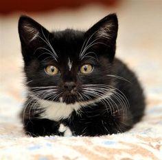 Tuxie Kitten