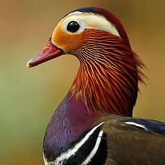 mandarin duck        (photo by alan hinchliffe)