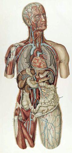 Sigismond Laskowski: Anatomie normale du corps humain: atlas iconographique de XVI planches (https://pinterest.com/pin/287386019948034826). Planche VIII. 1894.